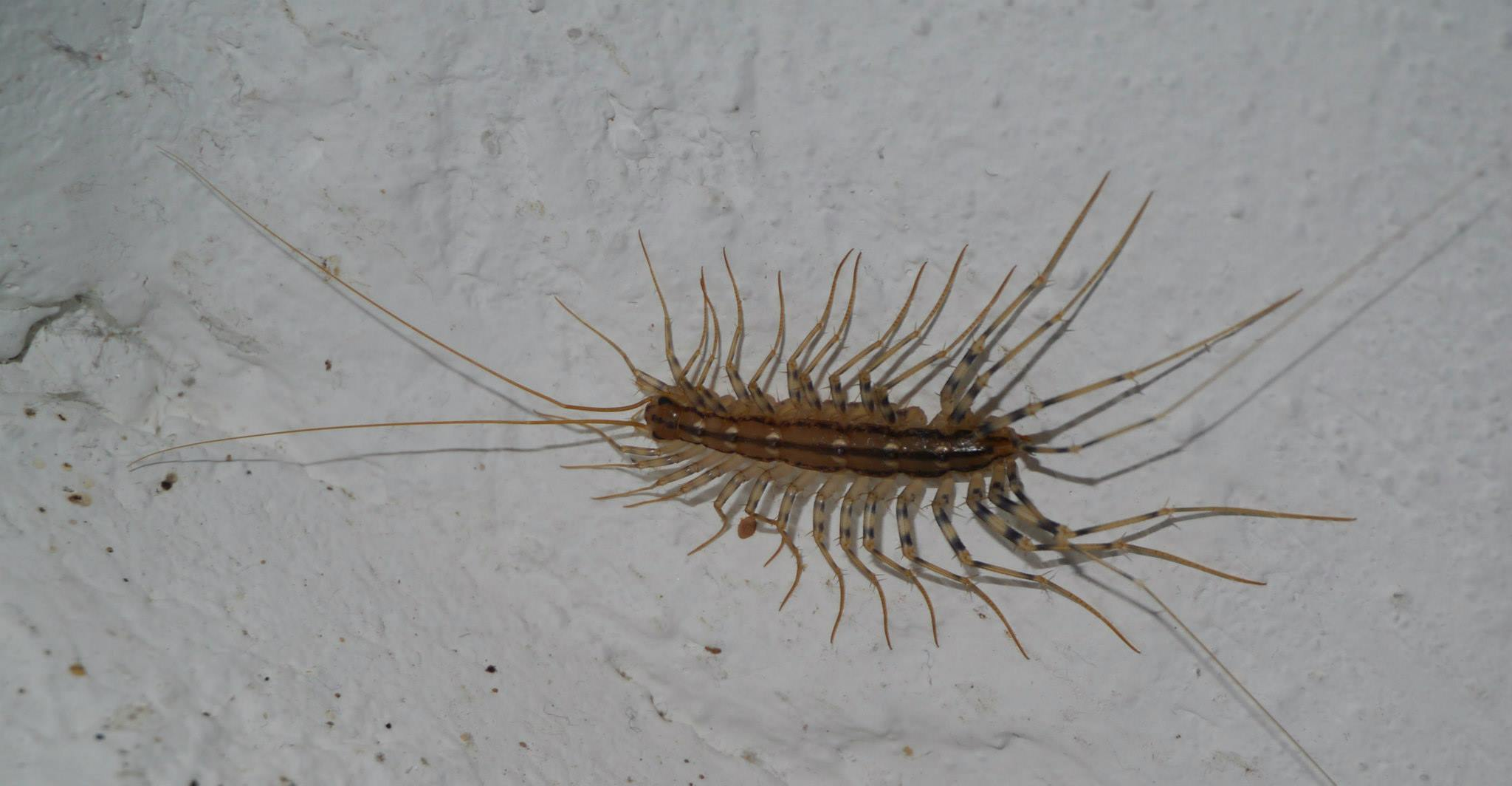 house centipede sigma pest control llc