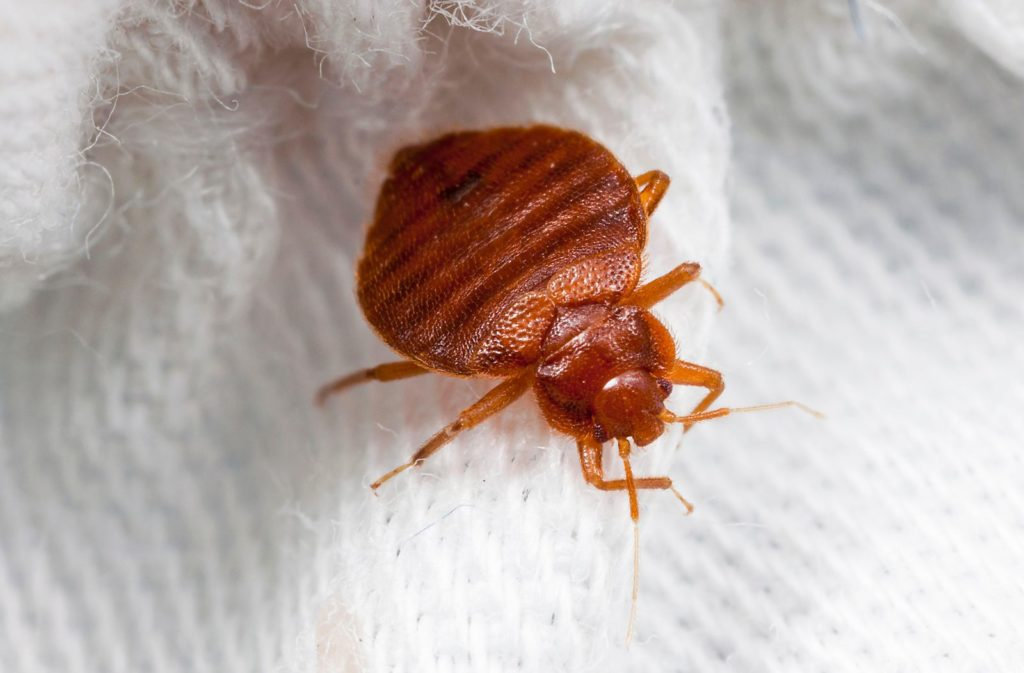 Why do Bed Bugs keep coming back? - Sigma Pest Control
