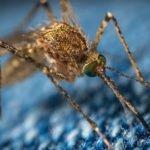 mosquito control