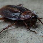 cockroach - sigma pest control