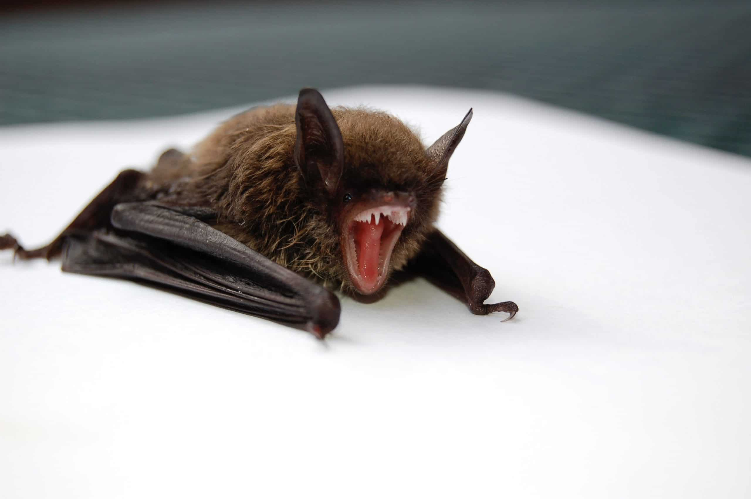 bats sigma pest control