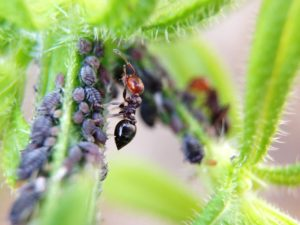 ant and aphids - sigma pest control