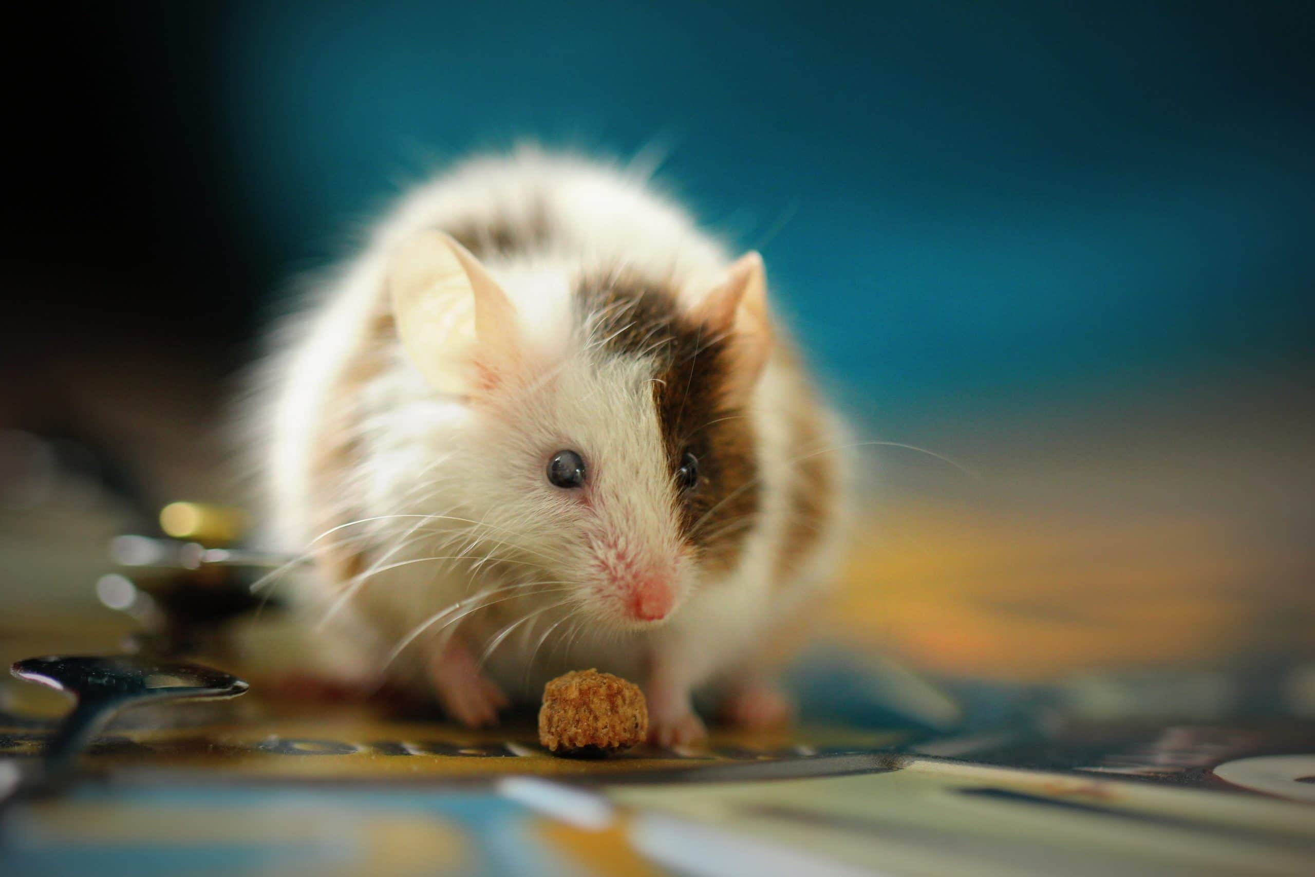 How Do I Know If I Have Mice In My House Sigma Pest Control