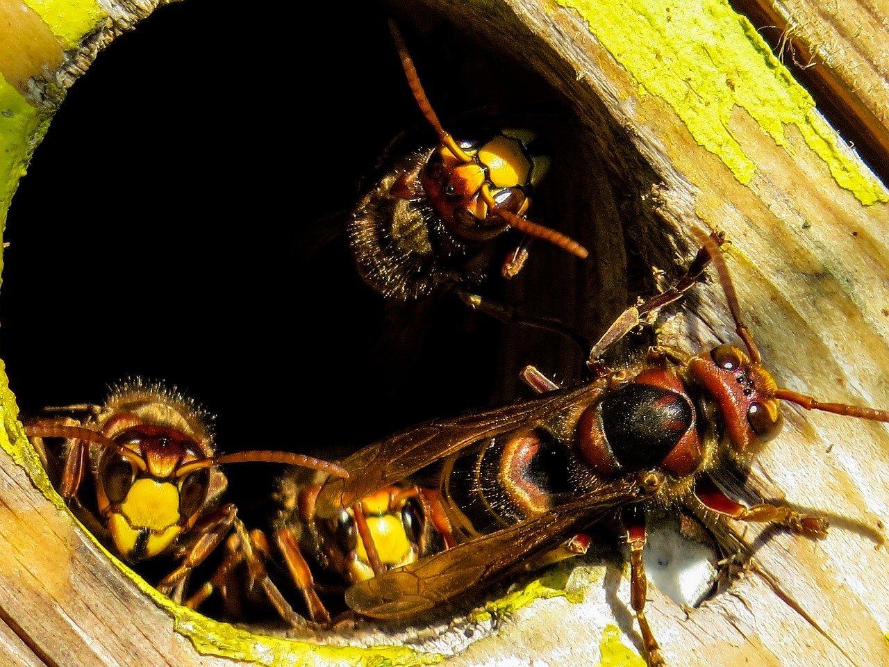hornets sigma pest control