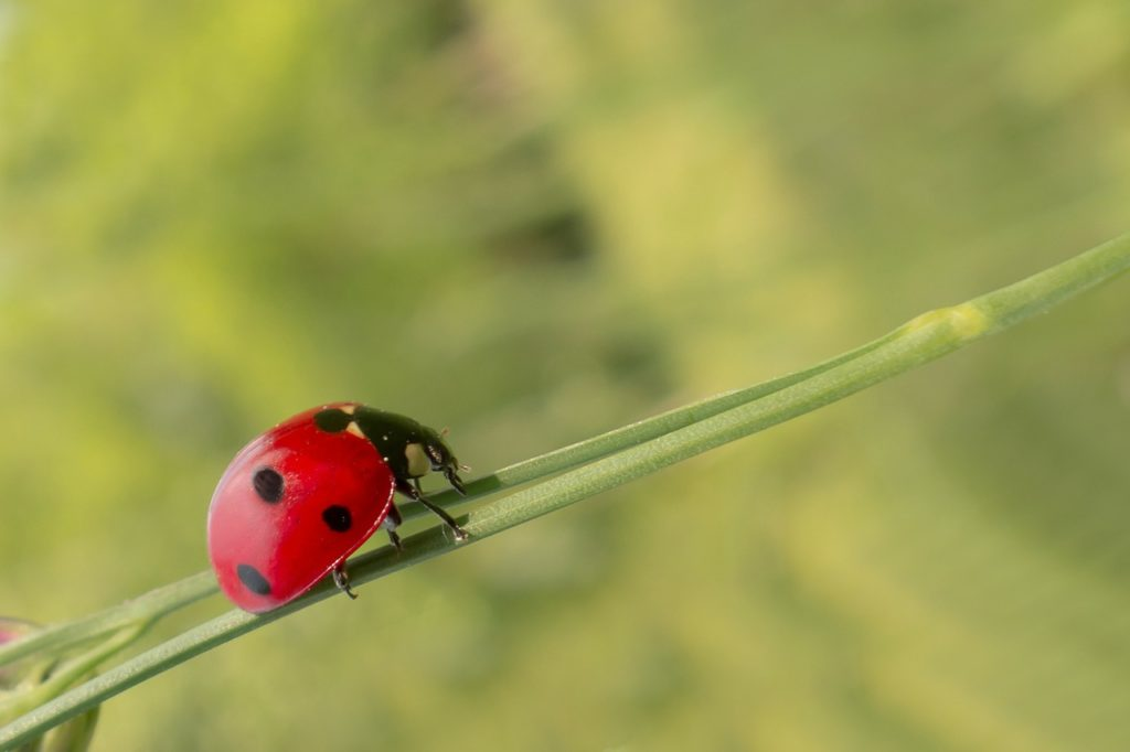 lady bug sigma pest control