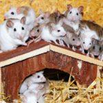 house mice sigma pest control