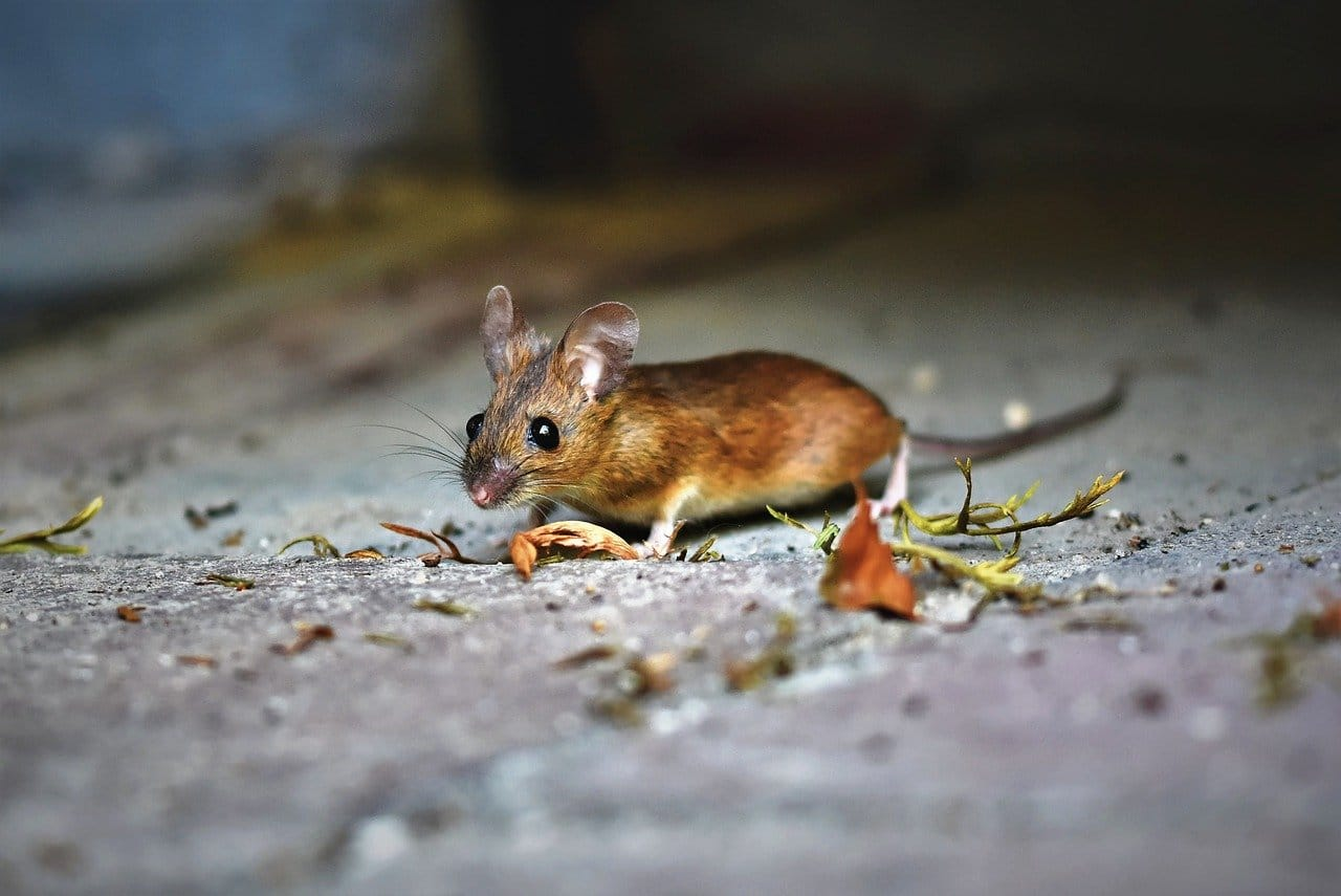 the house mouse sigma pest control
